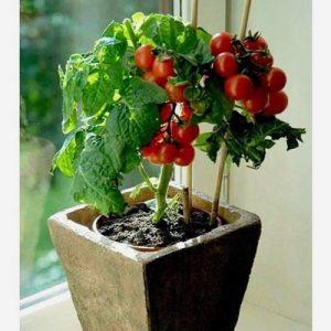 Saksıda-domates-300x300 Saksıda Domates Yetiştirmek, Ne yapılmalıdır?