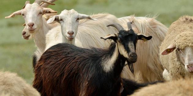 organik-koyun-keci