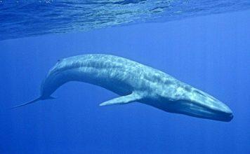 Dünyanın En Büyük Hayvanı Mavi Balinalar