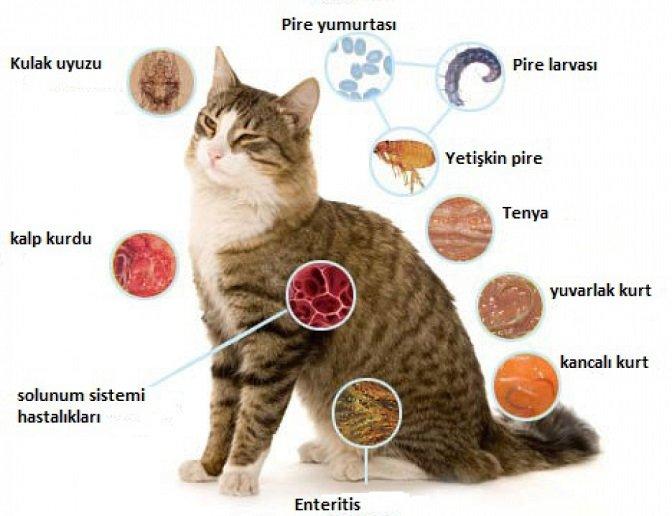 evcil-hayvanlarda-paraziter-hastaliklar-ve-insanlara-parazitlerin-bulasmasi-2 Evcil Hayvanlarda Paraziter Hastalıklar Ve İnsanlara Parazitlerin Bulaşması