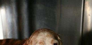 Köpeklerin çok bulaşıcı bir hastalığıdır. Yaşlı köpeklerde de görülmesine rağmen aslında 2 yaşına kadar olan genç köpeklerin hastalığıdır.