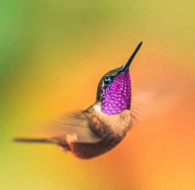 sinek kuşu